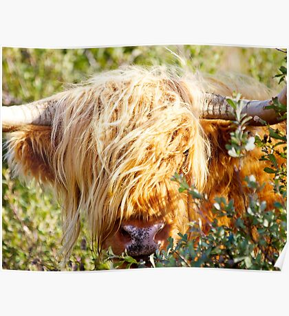 Bullish Hairy Coo Poster