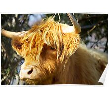 Staring Hairy Coo Poster