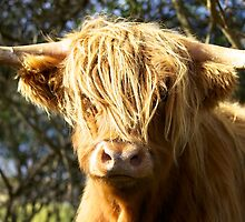 Hairy coo by Karen Marr