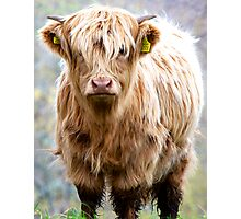 Dirty wee Hairy Coo Photographic Print