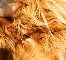 Eye of Hairy Coo by Karen Marr