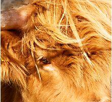Eye of Hairy Coo Photographic Print