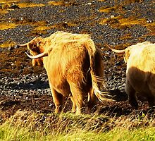 Walk away Hairy Coo by Karen Marr