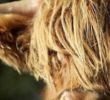 Face of Hairy Coo by Karen Marr
