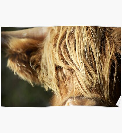 Face of Hairy Coo Poster