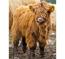 Little Hairy Coo Photographic Print