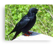 Jackdaw Bird Black Crow Canvas Print