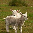 Cheviot twins by Karen Marr
