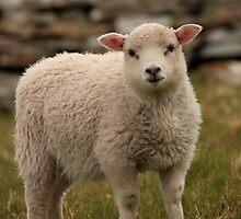 Sheltie lamb by Karen Marr