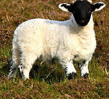 Wee Blackie lamb by Karen Marr