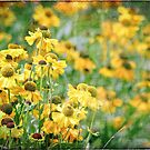 Textured Heleniums by Astrid Ewing Photography