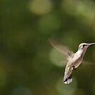 Female Ruby-throated Hummingbird by Jean Martin