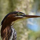 Little Green Heron Portait by Kathy Baccari