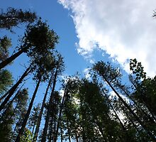 Tall Trees by dalemark