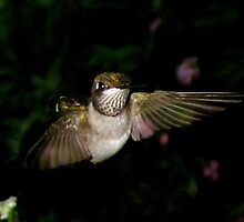 Young Ruby Throat male hummingbird checking me out by Samohsong