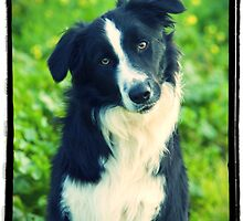 Border Collie by kirst68