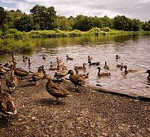 Raft of Ducks by Jay Lethbridge