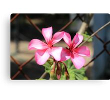 Two Geraniums in Bloom Canvas Print