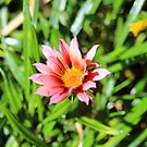 An African Daisy by -aimslo-