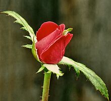 Red Rose Bud by Sharon Woerner