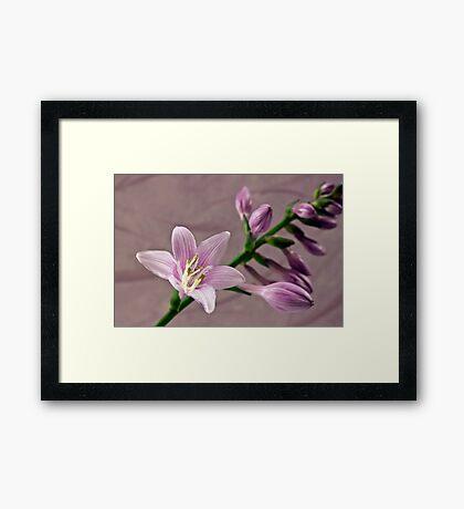 Hosta Blossom And Buds Framed Print