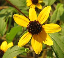 Brown Eyed Susan by Ron Russell