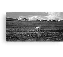 Little lost sheep Canvas Print