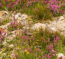 Alpine Figworts on Black Bear Pass, Hosting a Ptarmigan Pair by rjcolby