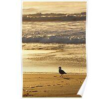 Silver Gull, Calverts Beach, Tasmania Poster