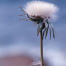 dandelion haze by © Karin  Taylor