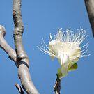 Boab flower, Kimberley, Western Australia by Margaret  Hyde