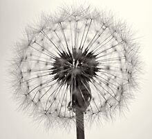 Dandelion by Jim McDonagh