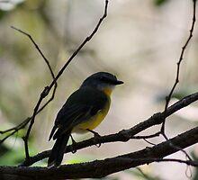 Eastern Yellow Robin, Broken River - QLD.  by Margaret Stanton