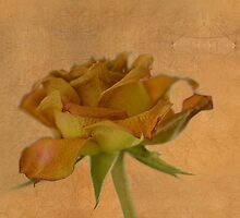 Faded beauty of a dead rose by Nicole W.