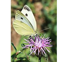 Cabbage White On Spotted Knapweed Photographic Print