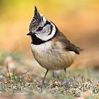 Crested Tit by cjdolfin