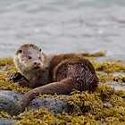 Otter (Lutra lutra) by cjdolfin