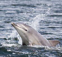 Moray Firth Dolphin Calf by cjdolfin