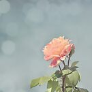 Bokeh Pink Rose by Ana  Eugénio