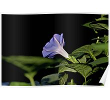 Midnight Morning Glory Poster