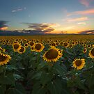 Sunflower Season - Denver, CO by Ryan Wright