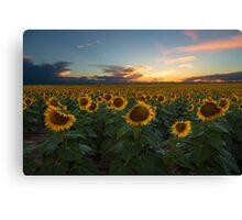 Sunflower Season - Denver, CO Canvas Print