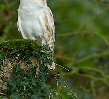 Purity ~ Barn Owl. (Tyto alba)  by Clare Scott