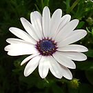 Beautiful Osteospermum White Daisy With Purple Center  by taiche