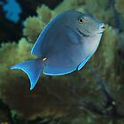 Caribbean Blue Tang (Adult) by natalia martin de pablos