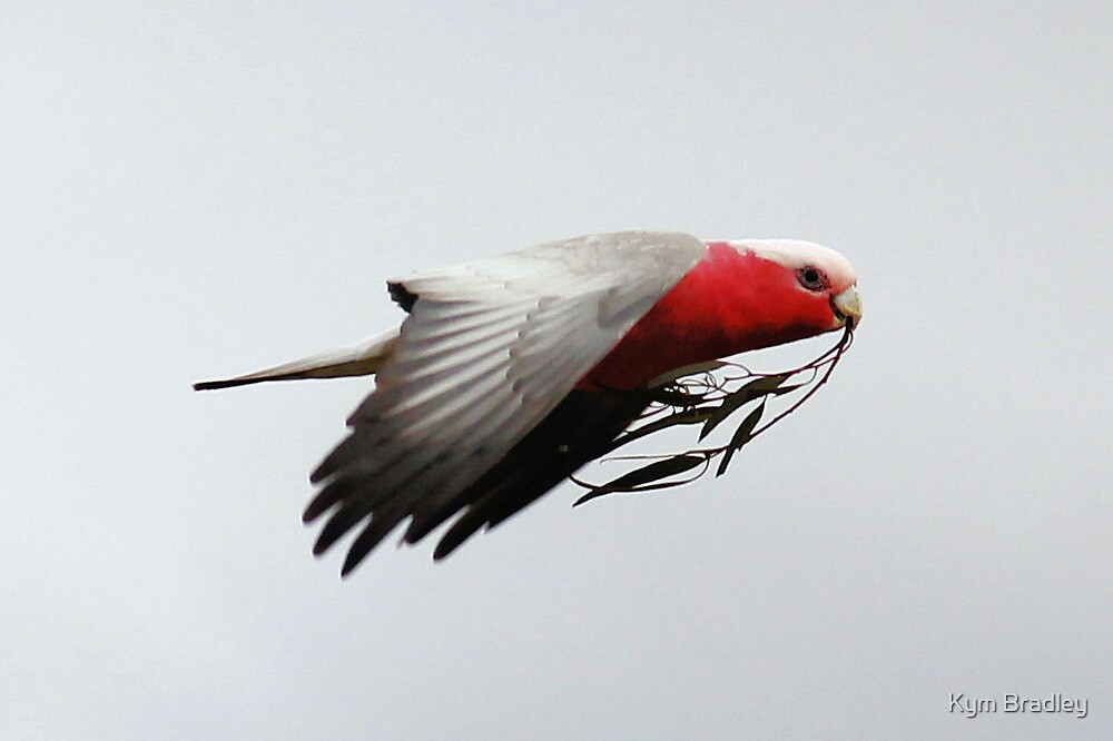 Peace Galah Not Dove by Kym Bradley