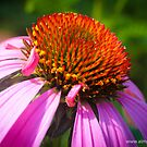 Echinacea Flower by -aimslo-