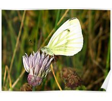 A Cabbage Butterfly  Poster
