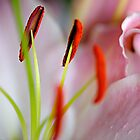 Pink & White Lily by Jaxybelle
