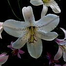 Washington Lilly by Charles & Patricia   Harkins ~ Picture Oregon
